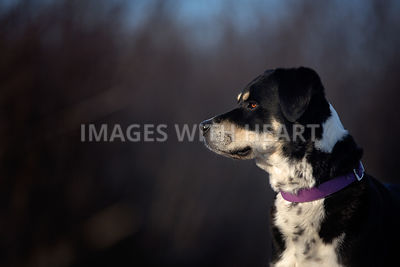 Large dog staring off into the distance with a dark background