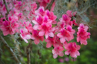 Pink azalea blossoms with spanish moss
