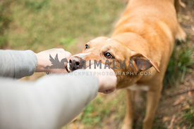 Older tan dog plays tug with owner both grabbing stick