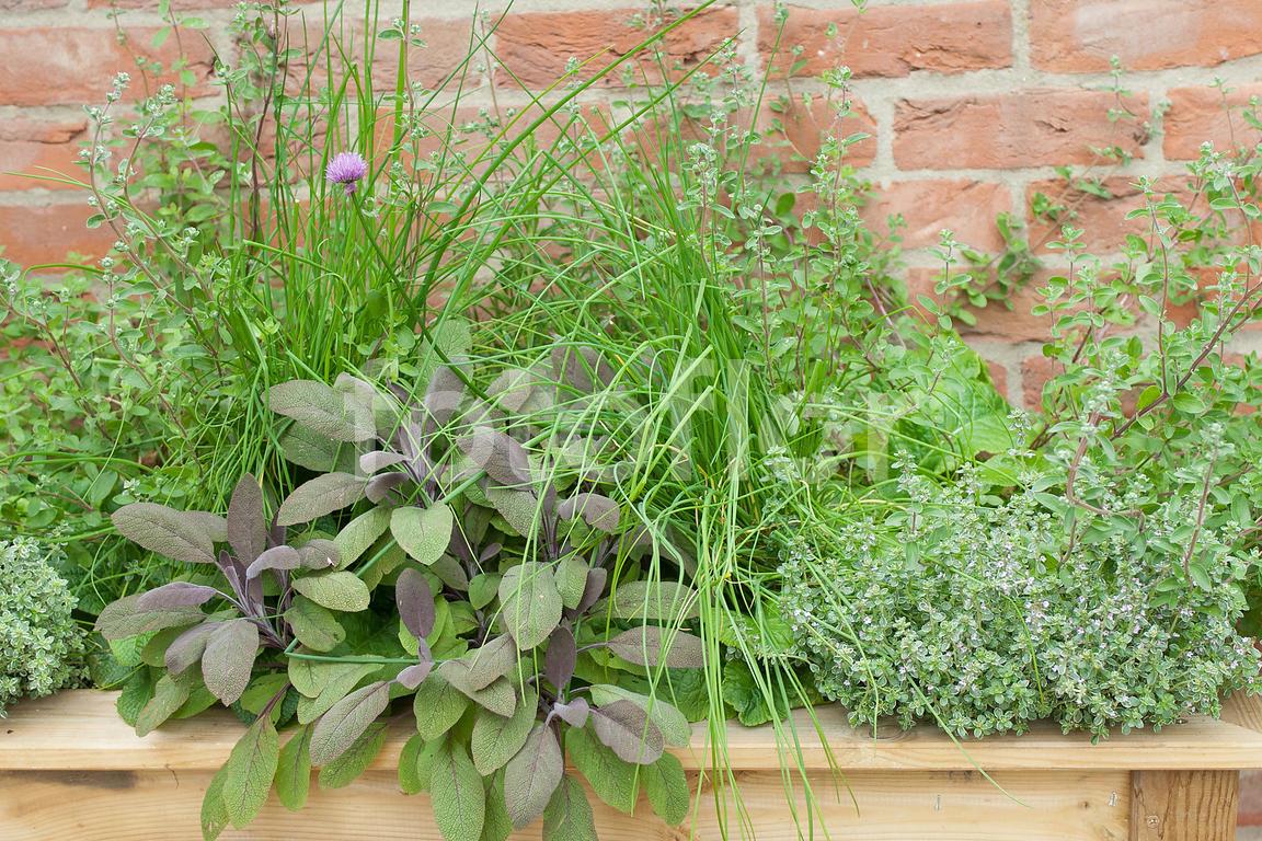 Plantes Aromatiques En Jardinière photo de jardinière de plantes aromatiques en mélange, vert