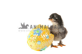 Newly hatched black chick stands by bright sequined egg
