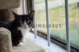 A black and white Tuxedo cat squats in her pen, near an outdoor window, at the animal shelter