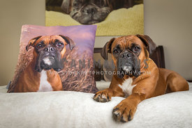 Boxer Dog Laying with Photo Pillow