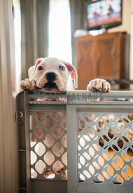White Boxer pup behind baby gate