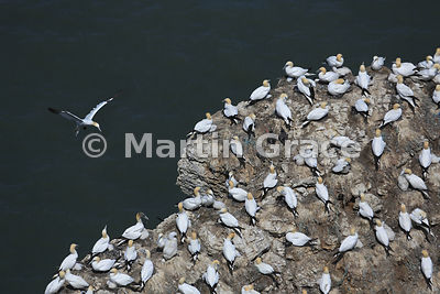 Northern Gannet (Morus bassanus) colony, Bempton Cliffs (RSPB), East Riding of Yorkshire, England