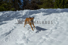 BFlashy Fawn Boxer dog runing down hill in snow