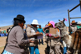 Aymara woman leading her llama out of the weighing cage, Curahuara de Carangas, Bolivia