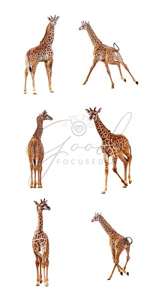 Baby Giraffe in Various Positions on White