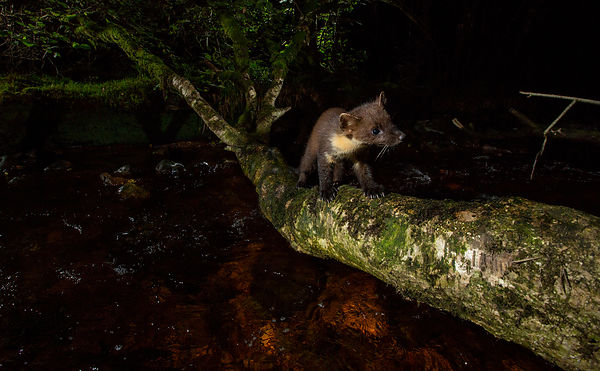I love the quizzical look on this Pine Marten kit!