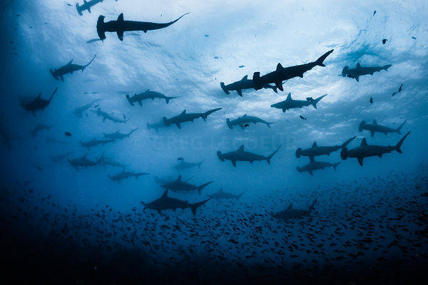 school of Hammerhead