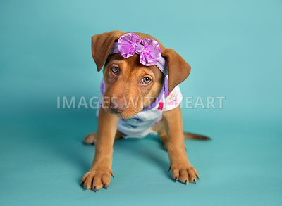 female puppy in onesie and headband sitting on turquoise paper