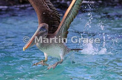 Close-up of Brown Pelican (Pelecanus occidentalis urinator) taking off from the sea surface, Sombrero Chino, Galapagos Islands