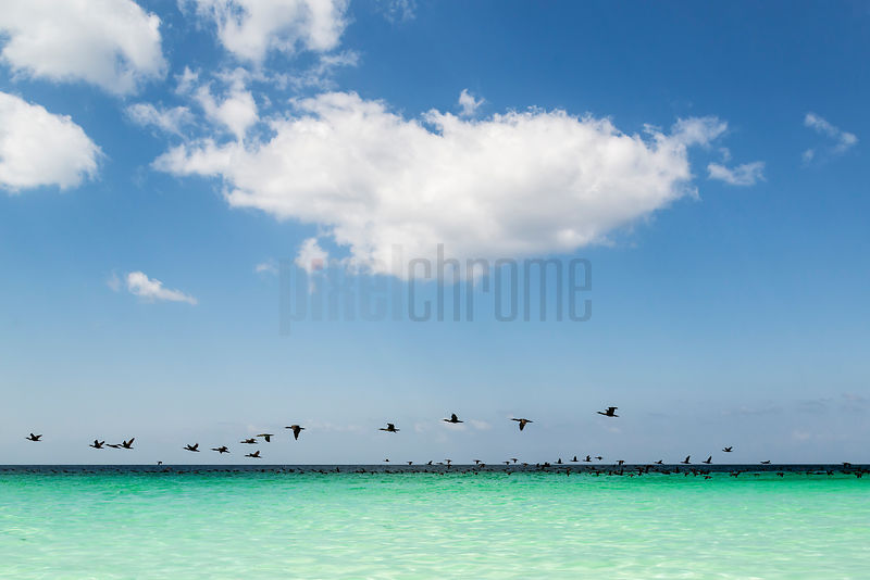 Flock of Cormorants in Flight