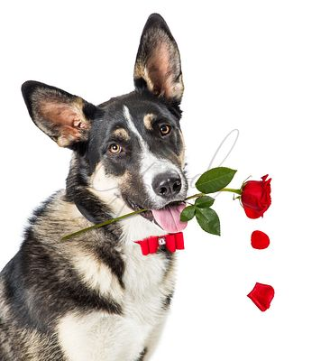 Valentines Day Dog Carrying Rose in Mouth