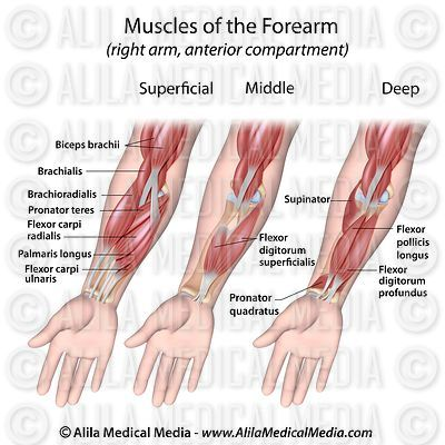 Forearm flexor muscles labeled diagram.