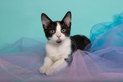 Kitten laying in taffeta