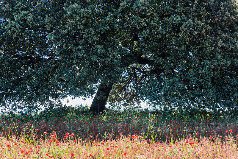 Poppies in Field with Holm Oak