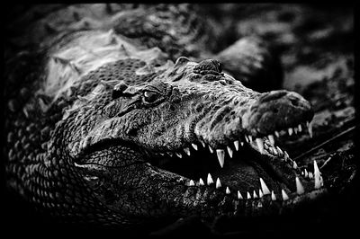Smile of crocodile, Botswana 2010 © Laurent Baheux