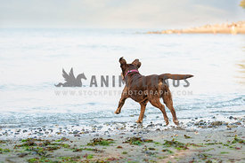 chocolate lab wearing pink collar running into the ocean