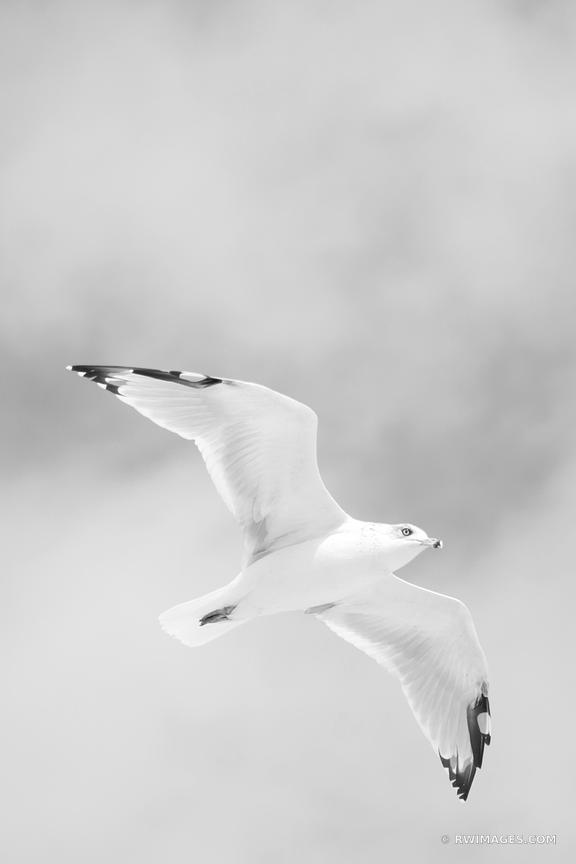 SEAGULL LONG ISLAND NEW YORK BLACK AND WHITE VERTICAL