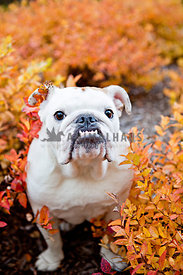 bulldog sitting in orange bushes  with underbite