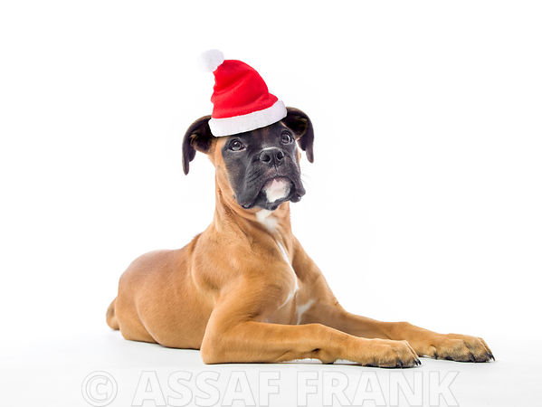 Boxer puppy with santa hat