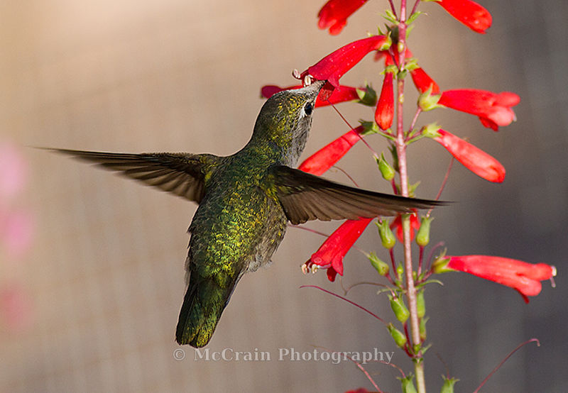 Annas Hummingbird, Female