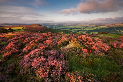 Purple heather on Curbar Edge