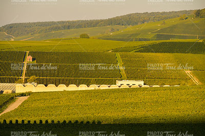 Champagne vineyards in Marne department, France
