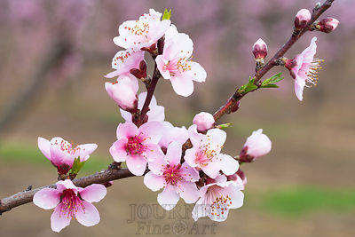 Peach Blossoms Branch