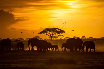 Herd of African Elephants at Golden Sunset