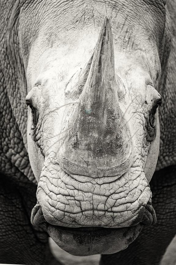 Southern White Rhinoceros Closeup Black and White