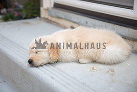 golden Retreiver puppy sleeping on cement step
