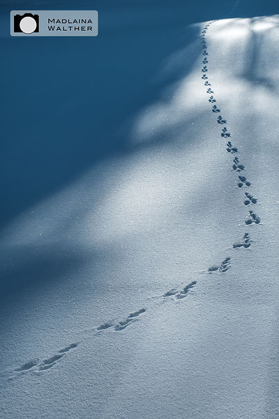 Hare tracks in the fresh snow.