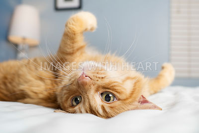Orange cat lying upside down on a bed