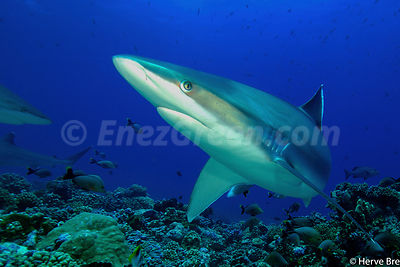 Sharks Albimarginatus in Rangiroa atoll French Polynesia