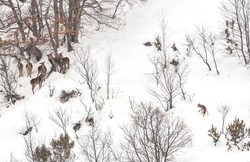 Wolf (Canis lupus) approaches a small herd of Red deer (Cervus elephas) in snow, Abruzzo, Italy. Highly commended in the Mamm...