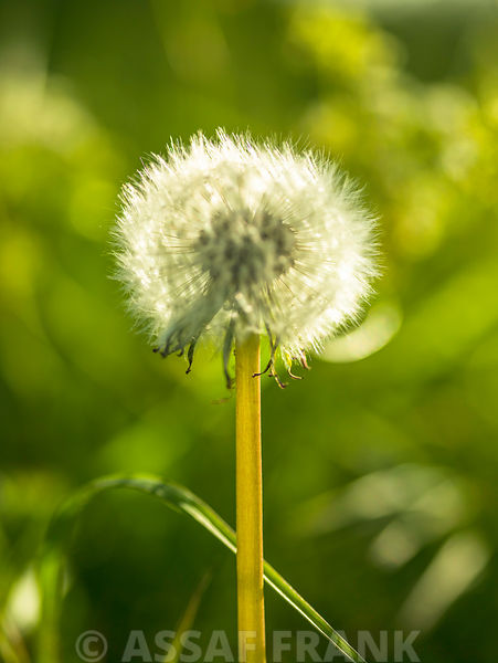 Dandelion clock against grass