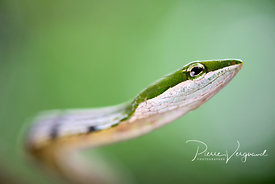 ecailles-photo de serpent_et_reptiles-pierre vergnaud-46