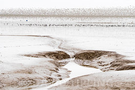 Waders primarily Knot and Oystewrcatcher out on the Wash at low tide viewed from Snettisham RSPB Reserve Norfolk August