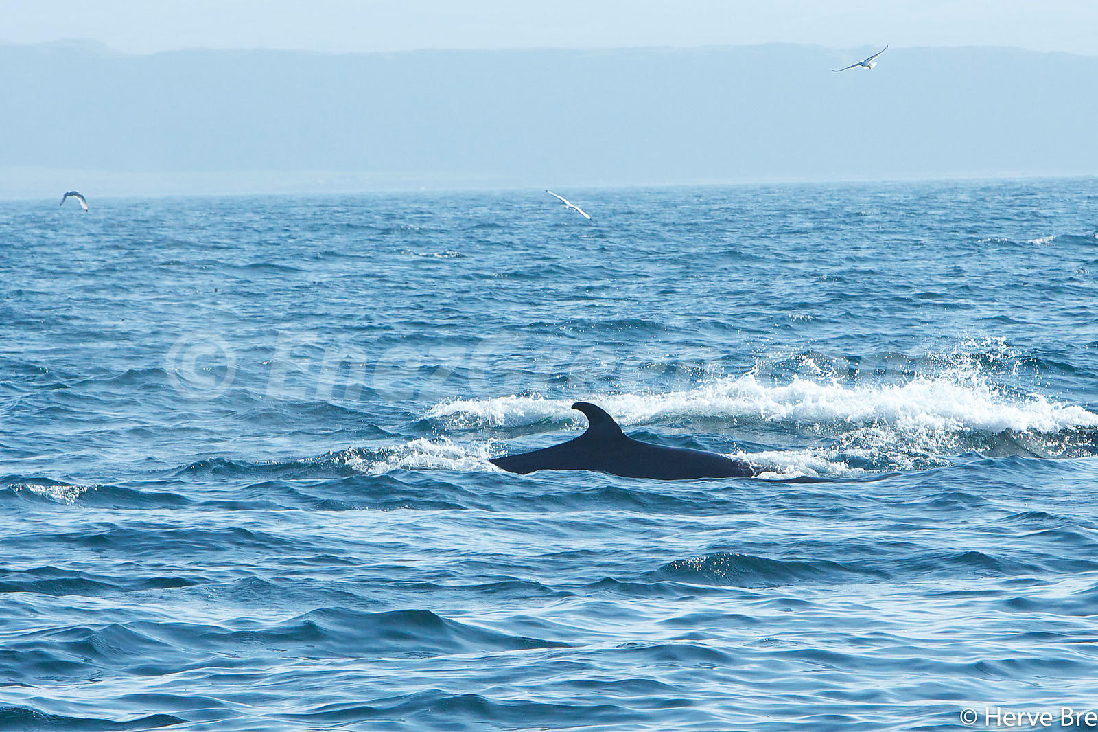 Minke whales in The Minch - Scotland