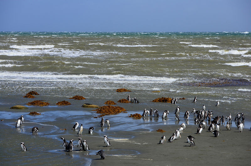 Flock of Magellanic Penguin (Spheniscus magellanicus) at the beach near their breeding colony in Seno Otway, Patagonia, Chile...