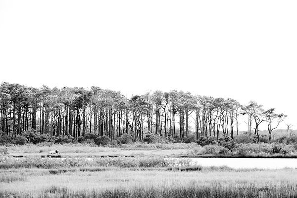 CHINCOTEAGUE BAY WILD HORSE PONY ASSATEAGUE ISLAND NATIONAL SEASHORE MARYLAND BLACK AND WHITE