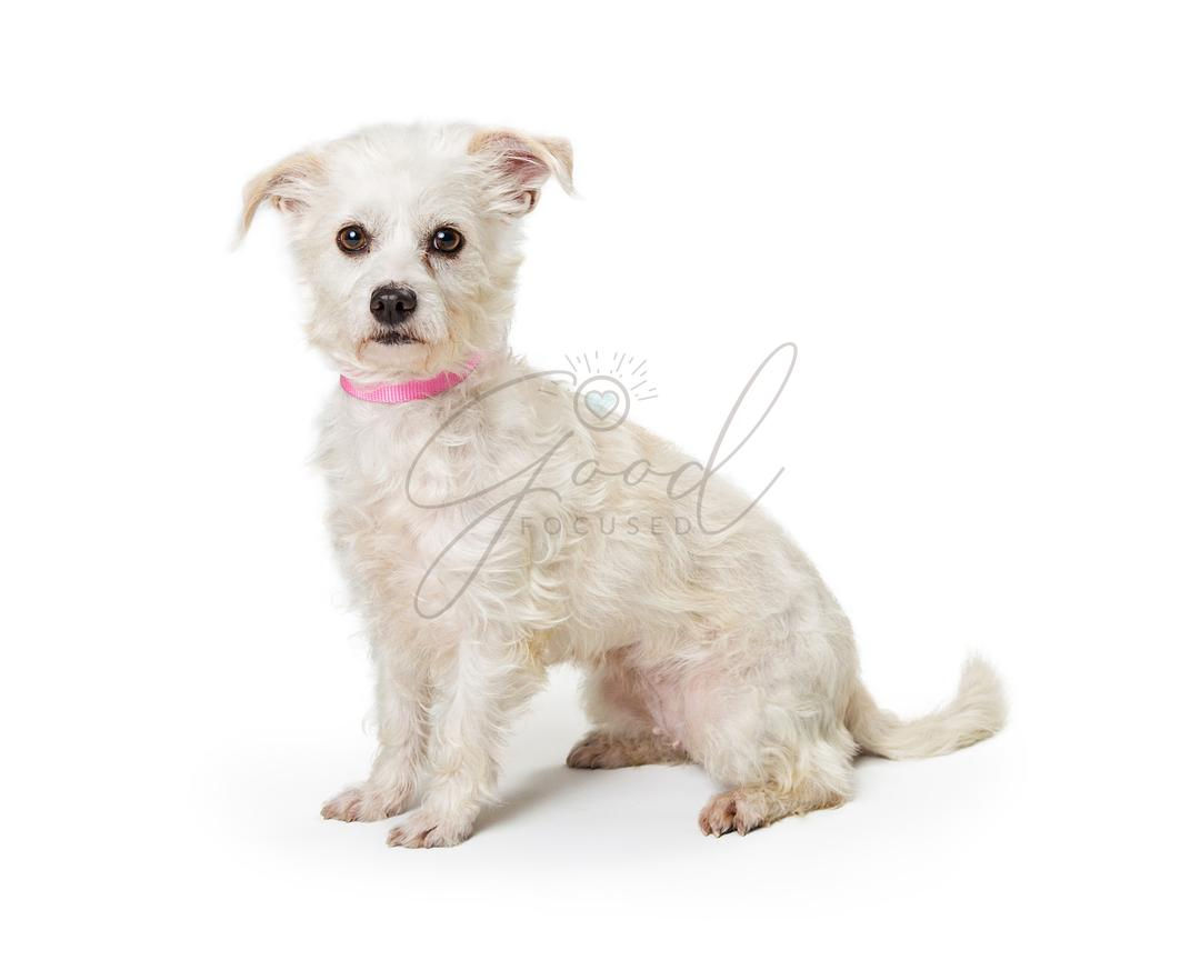 Maltese Terrier Crossbreed White Dog Sitting