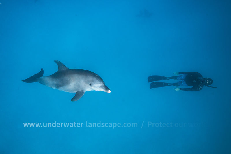 Back to the surface: dolphin and freediver