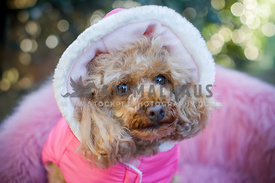 Poodle wearing pink hooded jacket