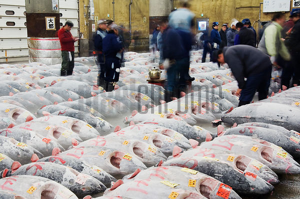 Buyers Examining Fish Before Auction