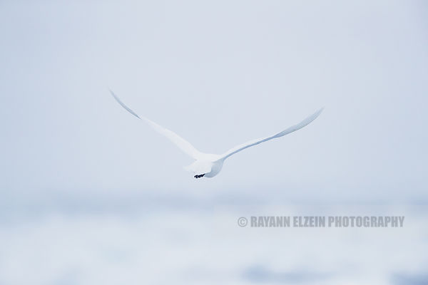 Ivory gull flying