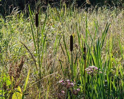 Freshwater bank vegetation with Flowering Rush, Bullrush and reeds