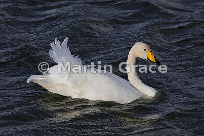 Whooper Swan (Cygnus cygnus) experiencing rough water and a tail wind, Dumfries & Galloway, Scotland